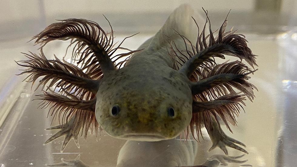 "#26 Melanoid Axolotl 5-6"""
