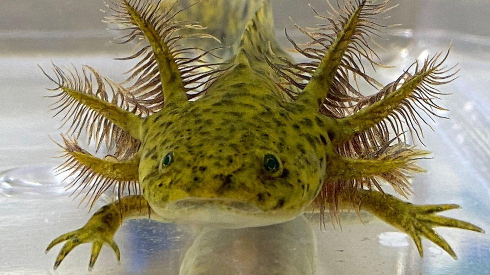 #10 GFP Wild Type Axolotl with Starburst potential 4-5""