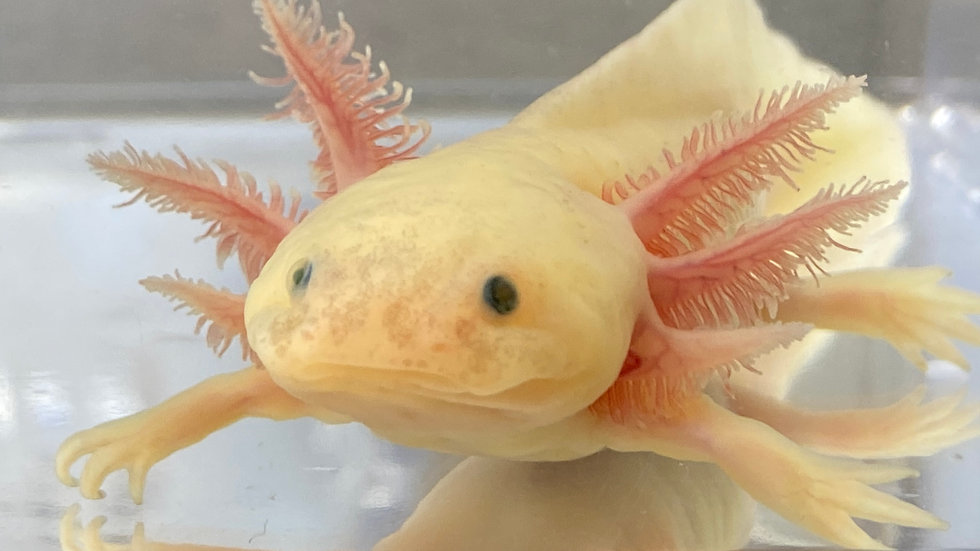 #506 GFP Dirty/Speckled Leucistic Axolotl 6""