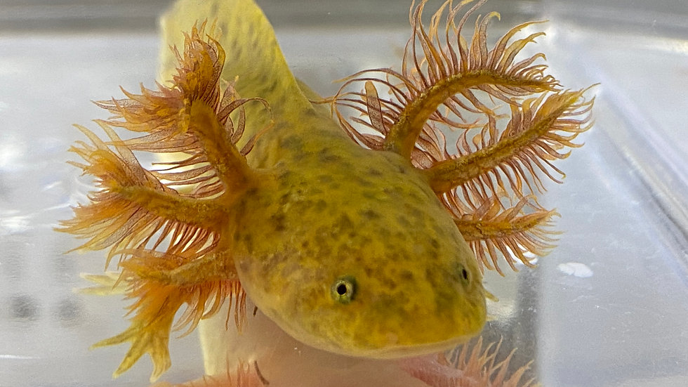 "#603 Copper Axolotl 5"""