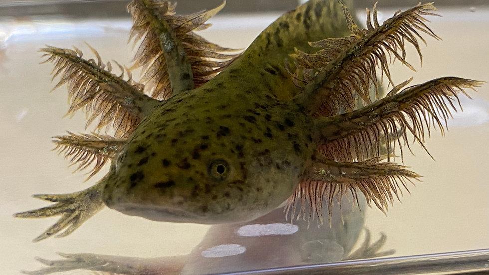 """#201 Wild-Type Axolotl 4-5"""""""