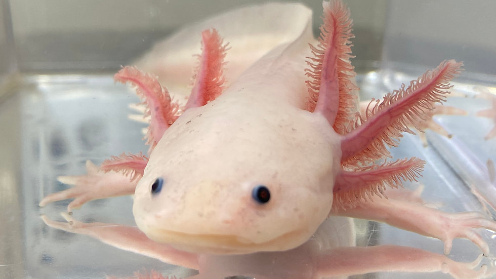 "Pet Quality Ungendered Axanthic Leucistic Axolotl 8"""