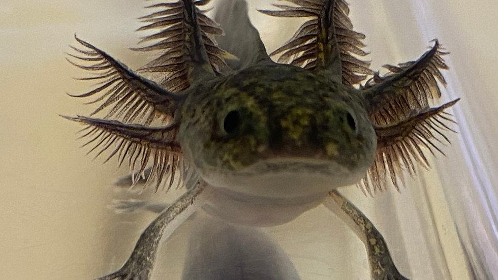 "#1 Melanoid Axolotl 3-4"""
