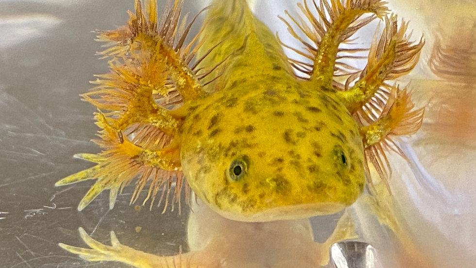 """#11 GFP Copper Axolotl with Moonburst potential 3-4"""""""