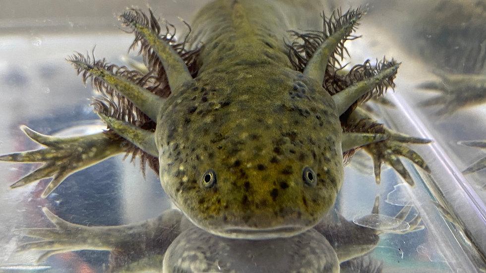 """#310 Wild-Type Axolotl 6-7"""""""