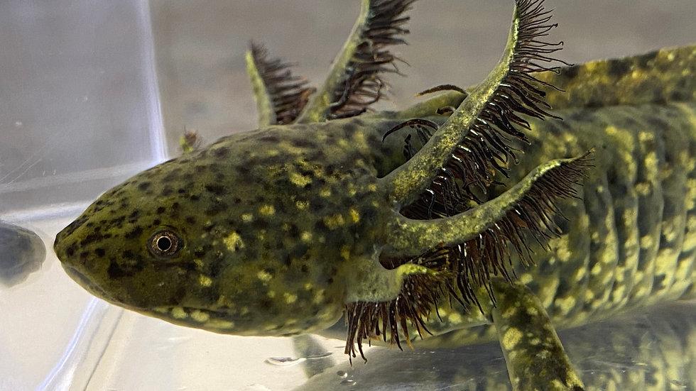 """#35 """"Starburst"""" Wild Type Axolotl 7"""""""
