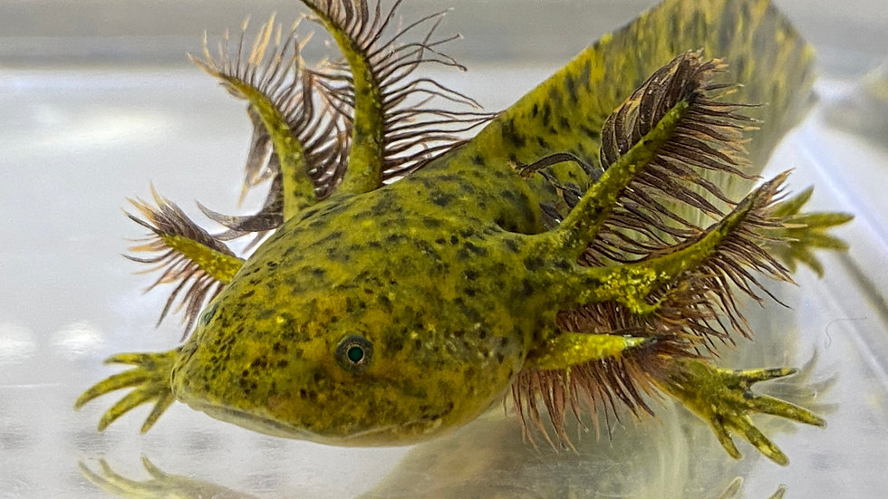 """#19 GFP Wild Type Axolotl with Starburst potential 5-6"""""""