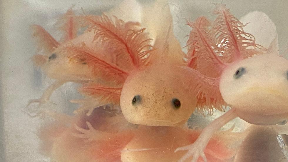 "Pet Quality Leucistic Axolotl 3"""