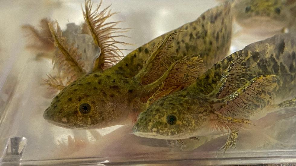 """Breeder's Choice Wild-Type Axolotl 3-4"""""""