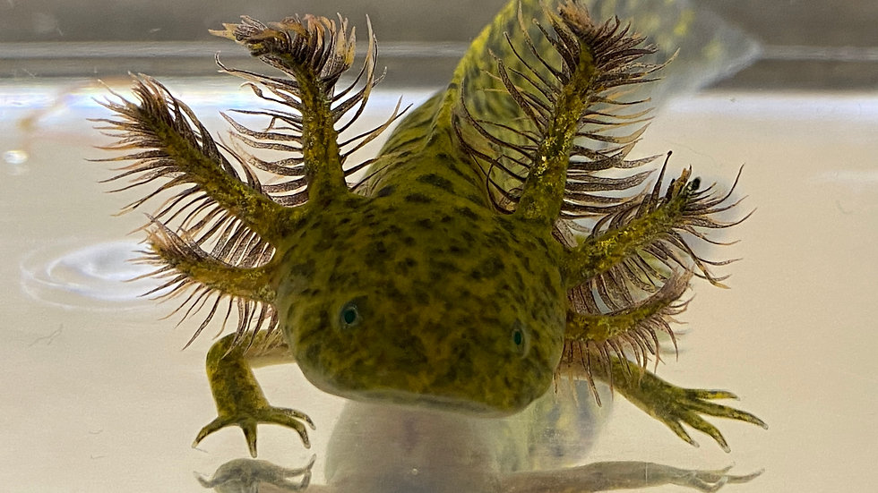 """#17 GFP Wild Type Axolotl with Starburst potential 4-5"""""""