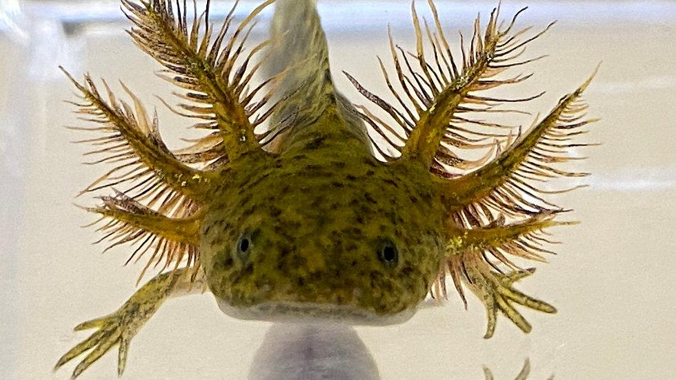 "#6 Wild Type Axolotl with Starburst potential 3-4"""