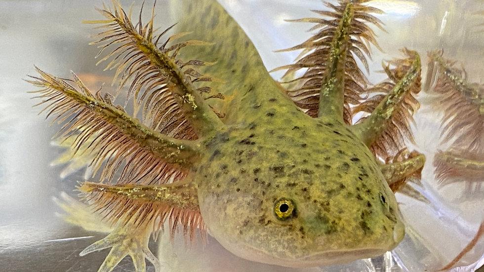 """#204 Wild-Type Axolotl 4-5"""""""