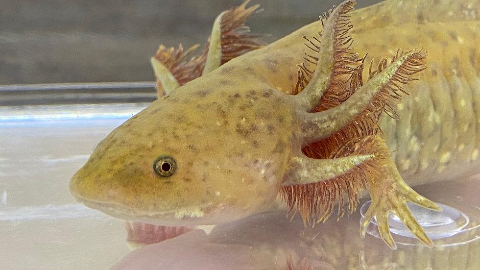 "#207 Copper Axolotl 5-6"""