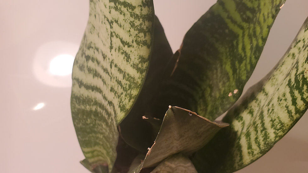 Mothers in law Tongue ( Sanseveria Snake plant)