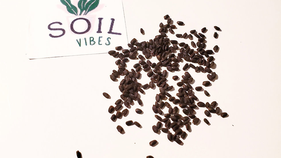 Corsican Basil Herb Seed