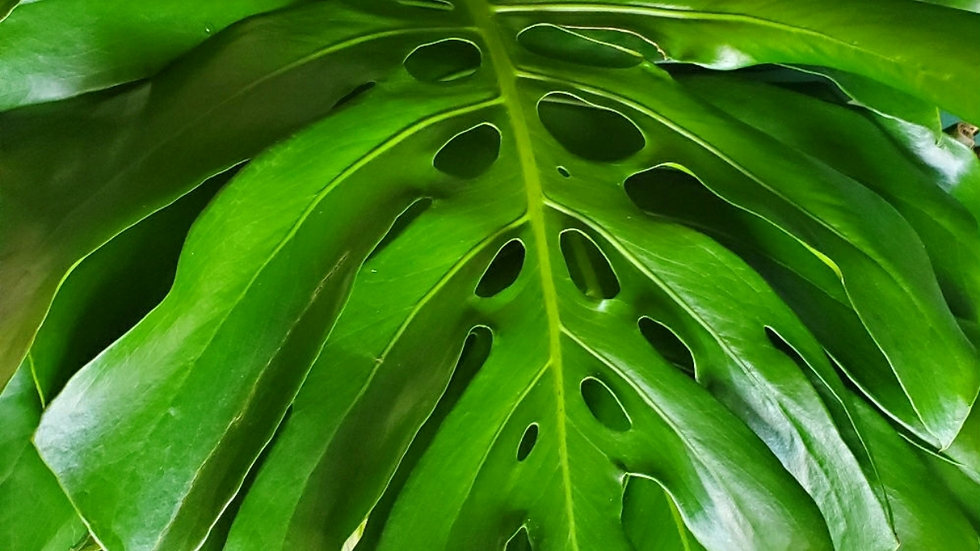 Large Monstera Deliciosa Cutting( Priority Shipping Only)