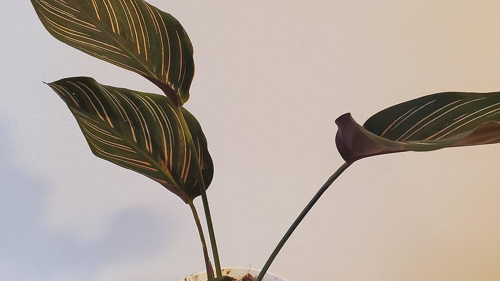 Calathea Ornata( Pin stripe ) Plant
