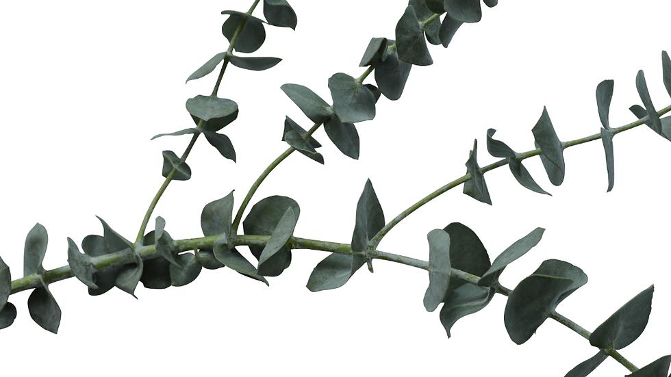 Eucalyptus( Silver Dollar) seeds