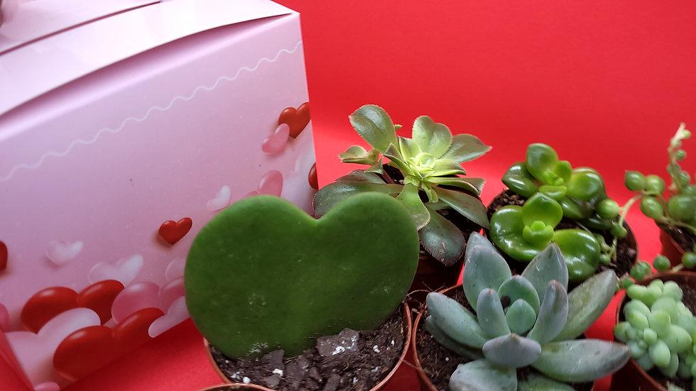 V-day Succulent Surprise
