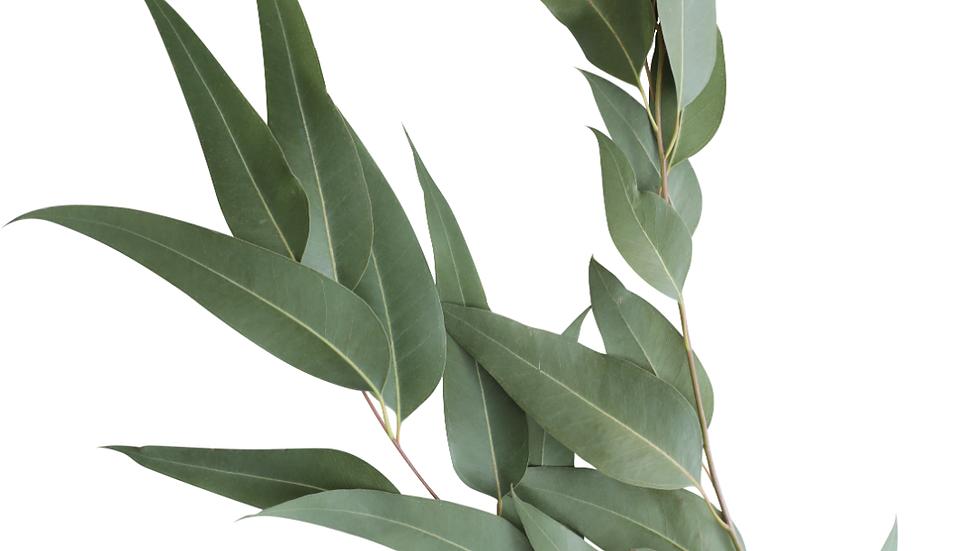 Eucalyptus( Tasmanian blue gum)Seed
