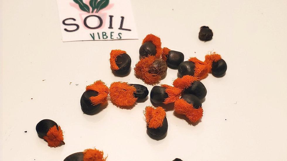 Strelitzia Reginae( Birds of Paradise)Seed