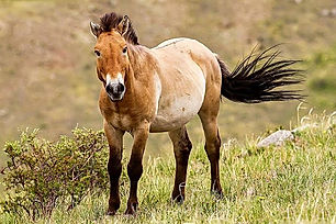 Przewalski or Takhi (in Mongolian) is on