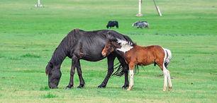 foal-2506345.jpg