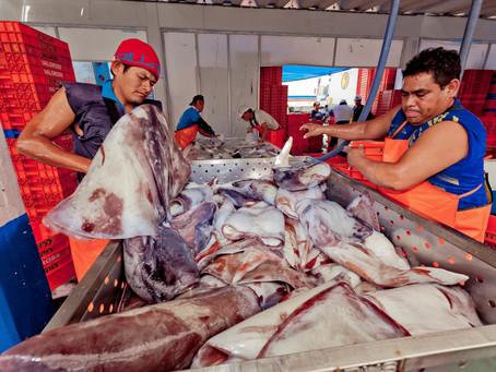 CALAMASUR plantea su posición sobre aspectos claves para la sostenibilidad del calamar gigante