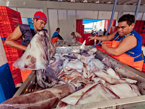 CALAMASUR raises its position on key aspects for the sustainability of the flying giant squid