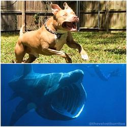 Murphy is a basking shark.
