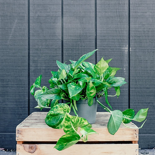 Pothos plant-Pick Up Only