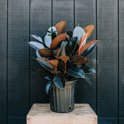 Rubber Plant-Pick Up Only