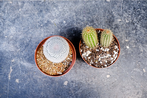 Cacti Double Pack- Pick Up Only