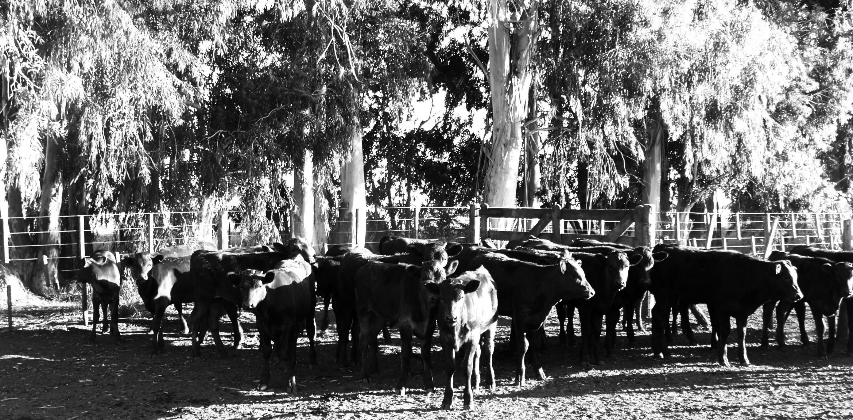 Calves F3 Wagyu/Holstein.