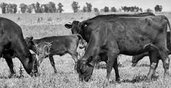 Cruzas F2 y F3 Wagyu/Holstein.