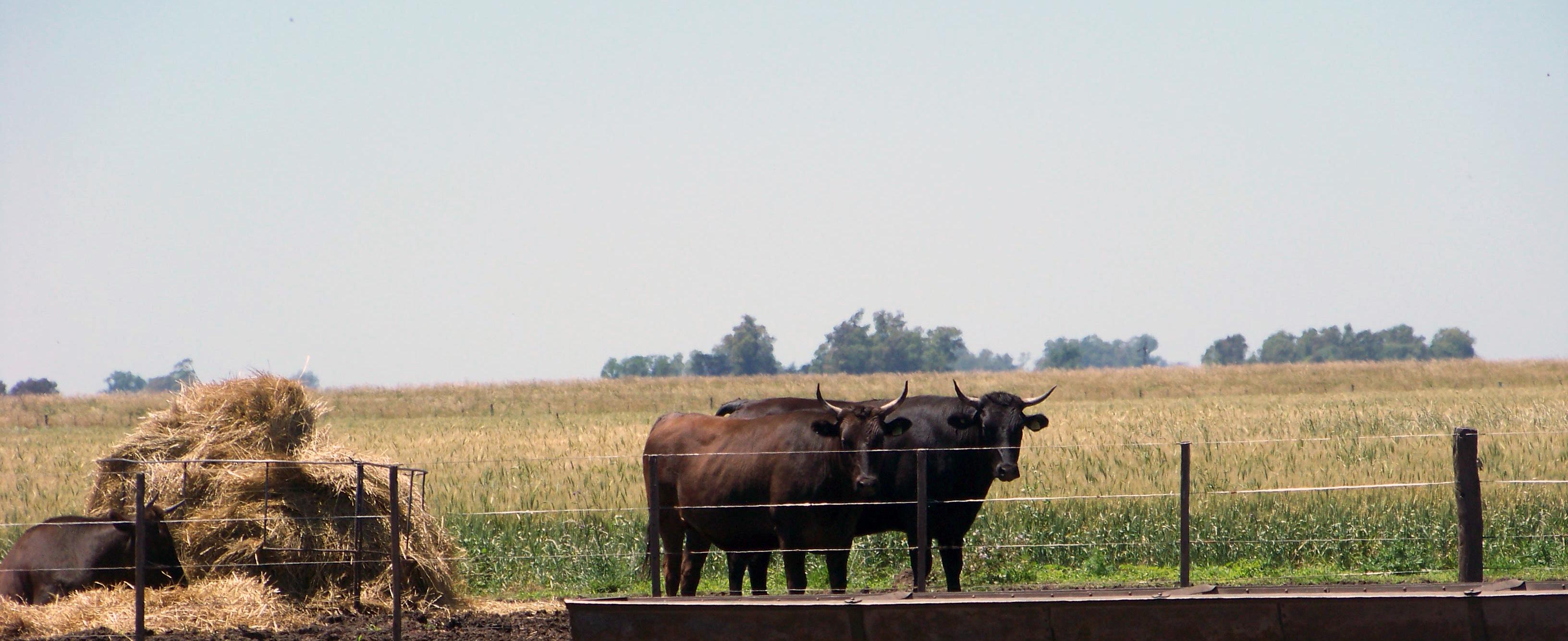 Steers F2 Wagyu/Holstein.
