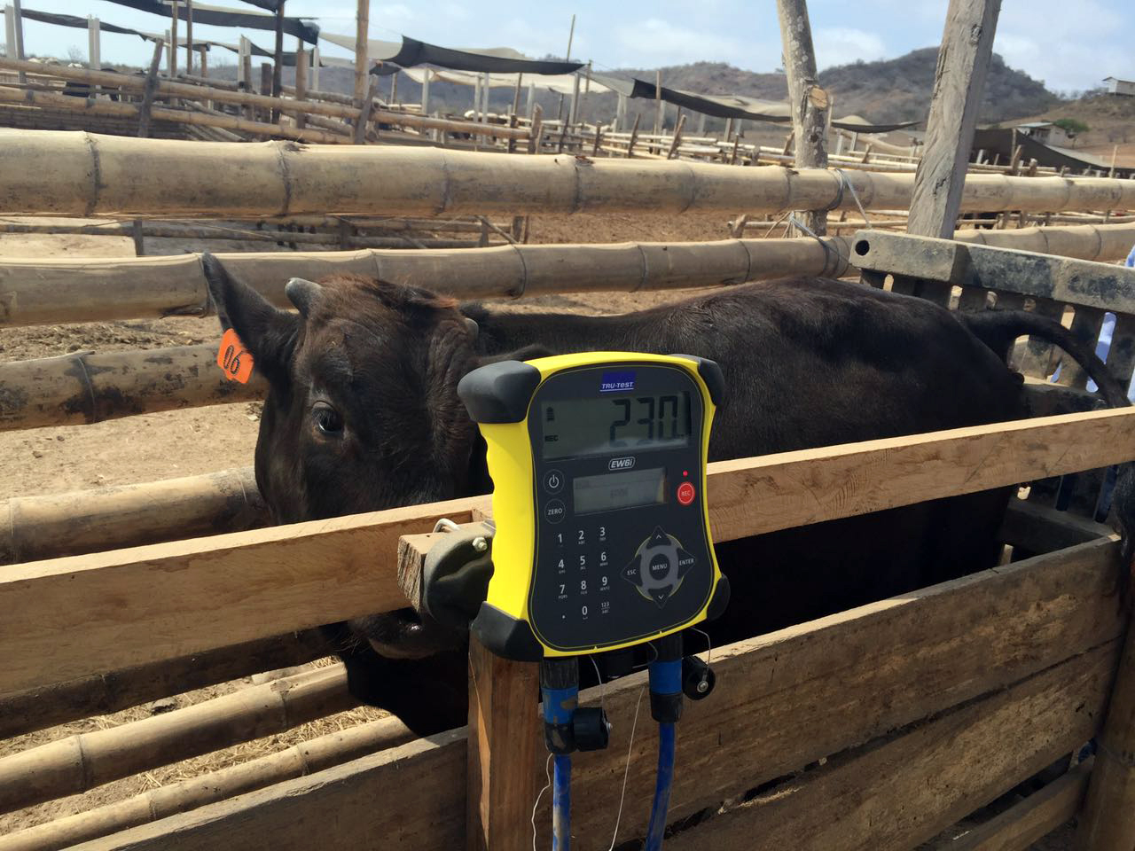 Weighing Wagyu calves.