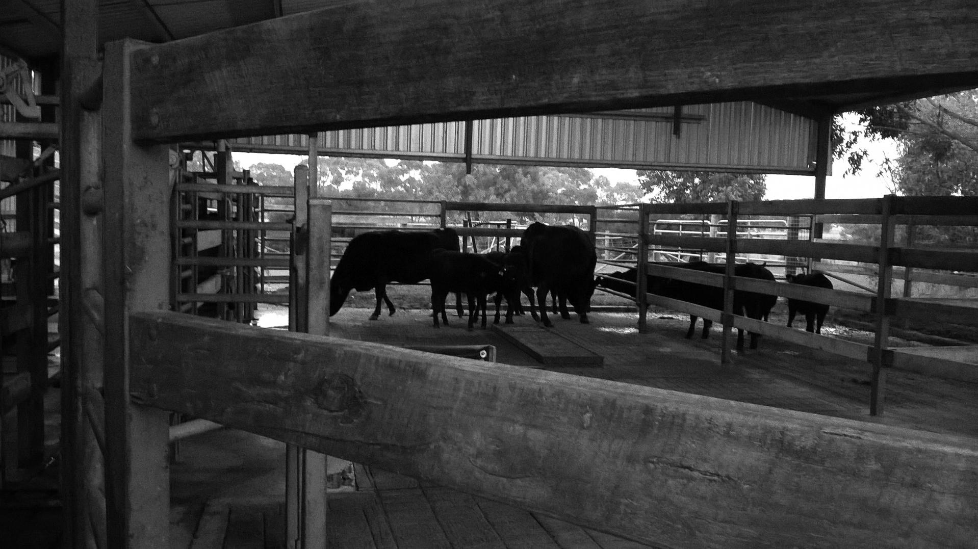 Vacas Wagyu esperando ser lavadas