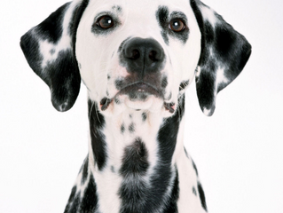 The Dalmation and its history