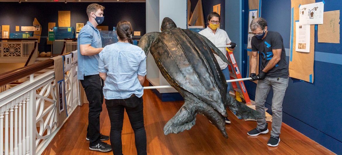 an 1880's Leatherback Turtle specimen at Peabody Essex Museum