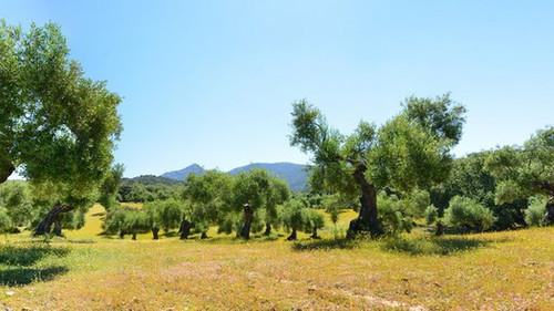 Las tareas del olivar