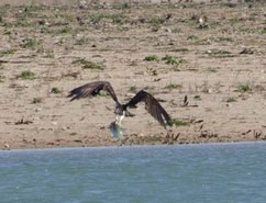 Censo ibérico del águila pescadora
