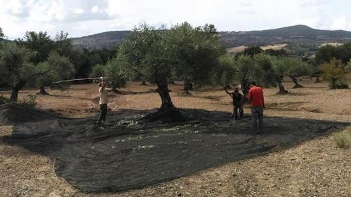 Recolección de la oliva.