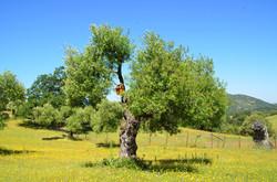 olivo caja