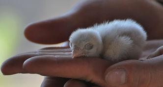 Cernícalo vulgar (Falco tinnunculus) O-Live