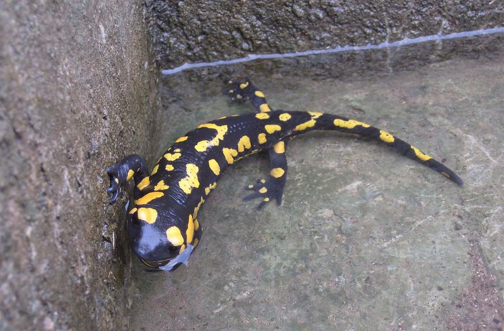 Salamandra penibética
