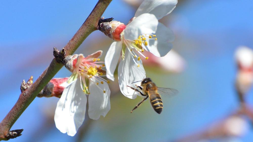 abeja polinizando frutales