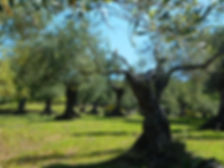 Abubilla sobre olivo