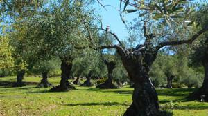 Arranca el proyecto Olivares Vivos en la Sierra de Cádiz
