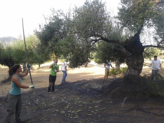 vareo del olivo